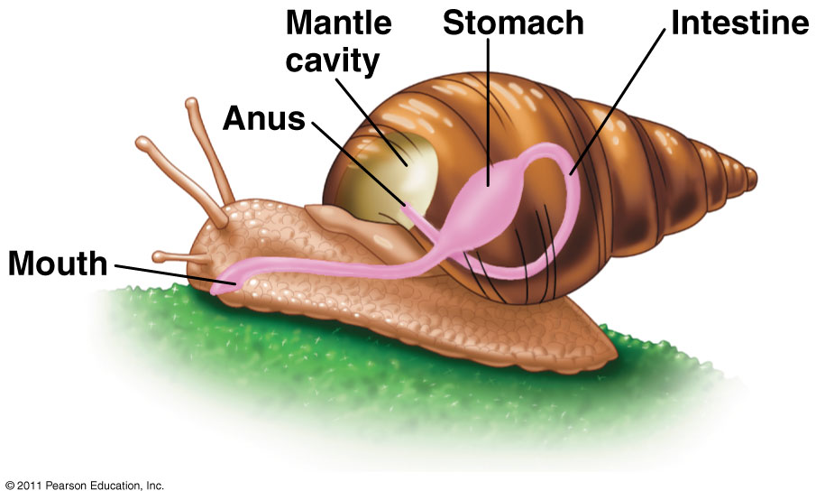 what are examples of gastropods socratic