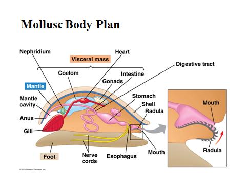 Early development additionally Types Of Rotifers b 7CdX4 7C1Jn2oWAhiSYLdjD9e 7CWDkAnIPQGSHDawL8IzA moreover Laparotom C3 ADa additionally Animal Body Cavities additionally AnimC. on what are the body cavities