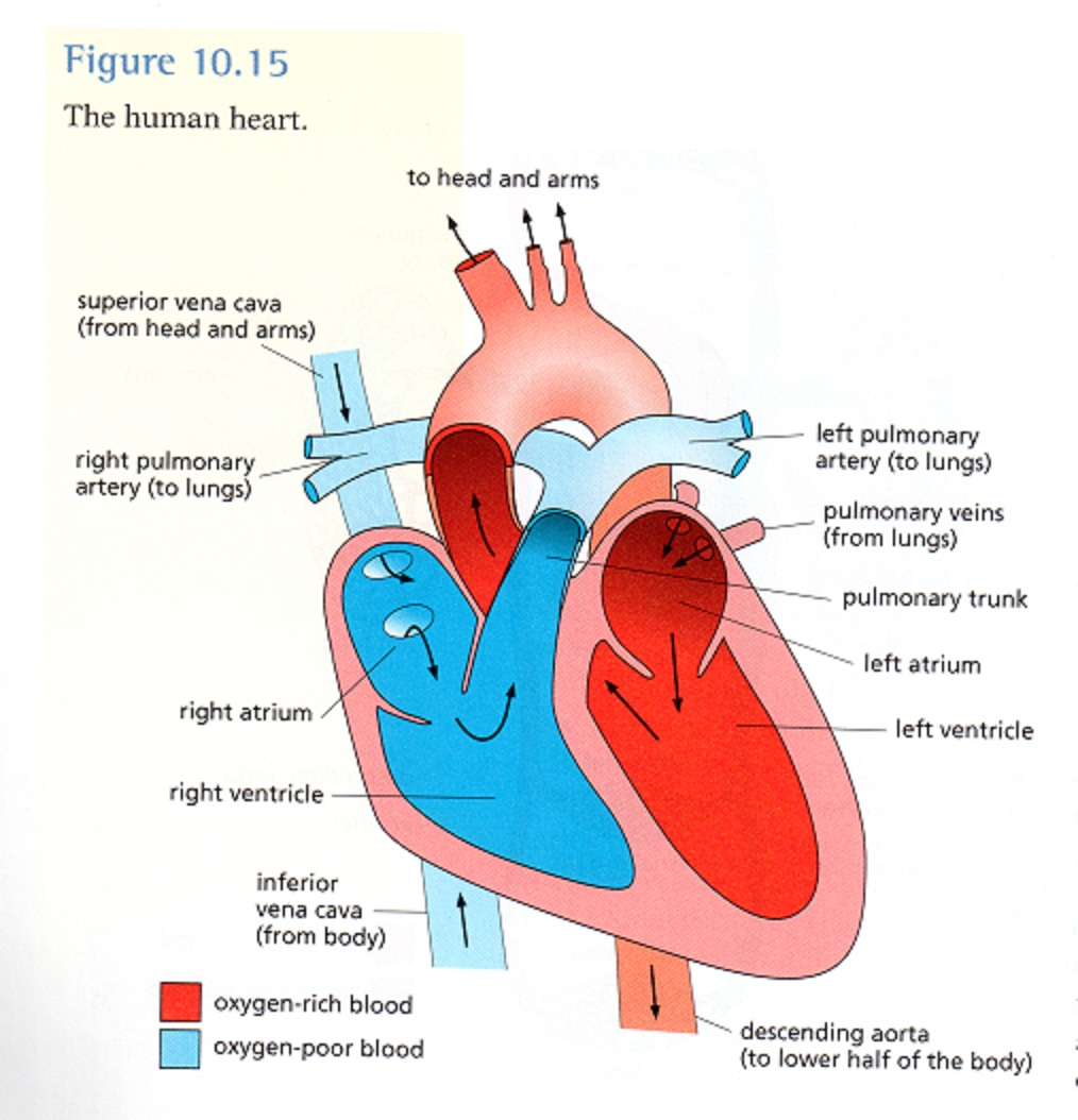 Carpal Bones together with Dogfish Shark Circulatory System Diagram additionally Blood Biology MTIP6uyH7qgFi likewise Organs Of The Circulatory System Anatomy Organs Of The Cardiovascular System Organs Circulatory System additionally Two Great New Gizmos. on circulatory system